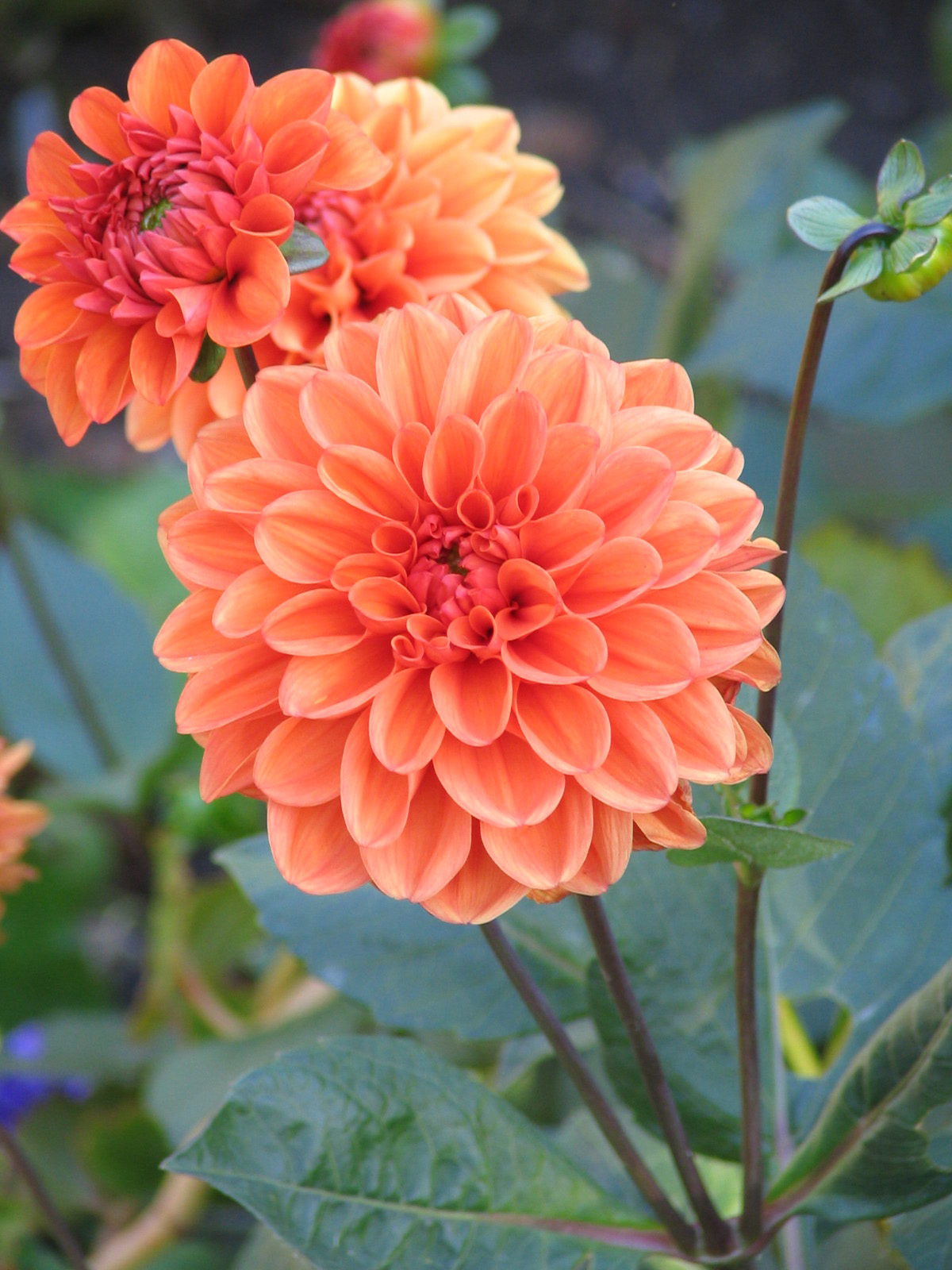 Flower of the week echelon florist dahlias izmirmasajfo