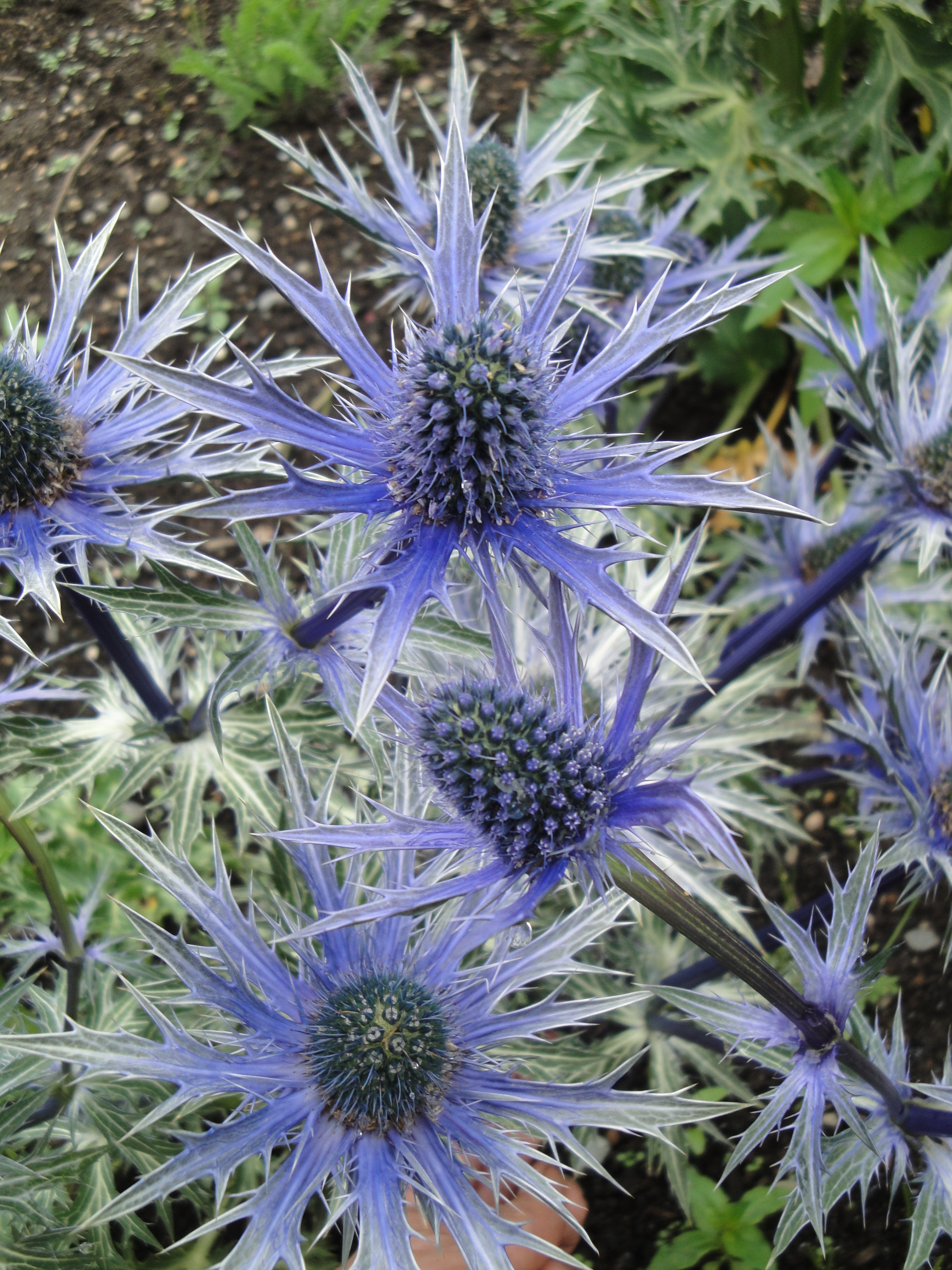 The More Common Name For This Flower Is Blue