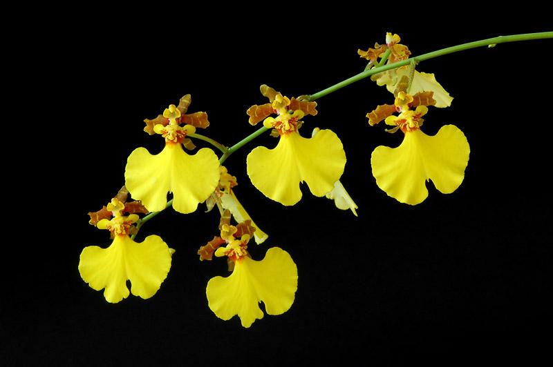 Orchid Echelon Florist