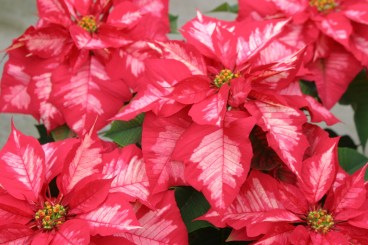 Poinsettia Ice Punch 11-30-10