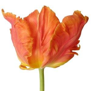 Orange_Monarch_Parrot_Novelty_Tulip_Flower_300