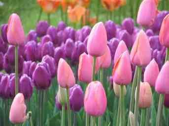 pinkpurpletulips