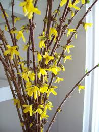 forsythia-branch