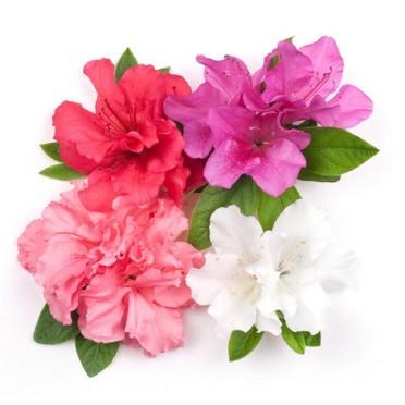 florist_azalea